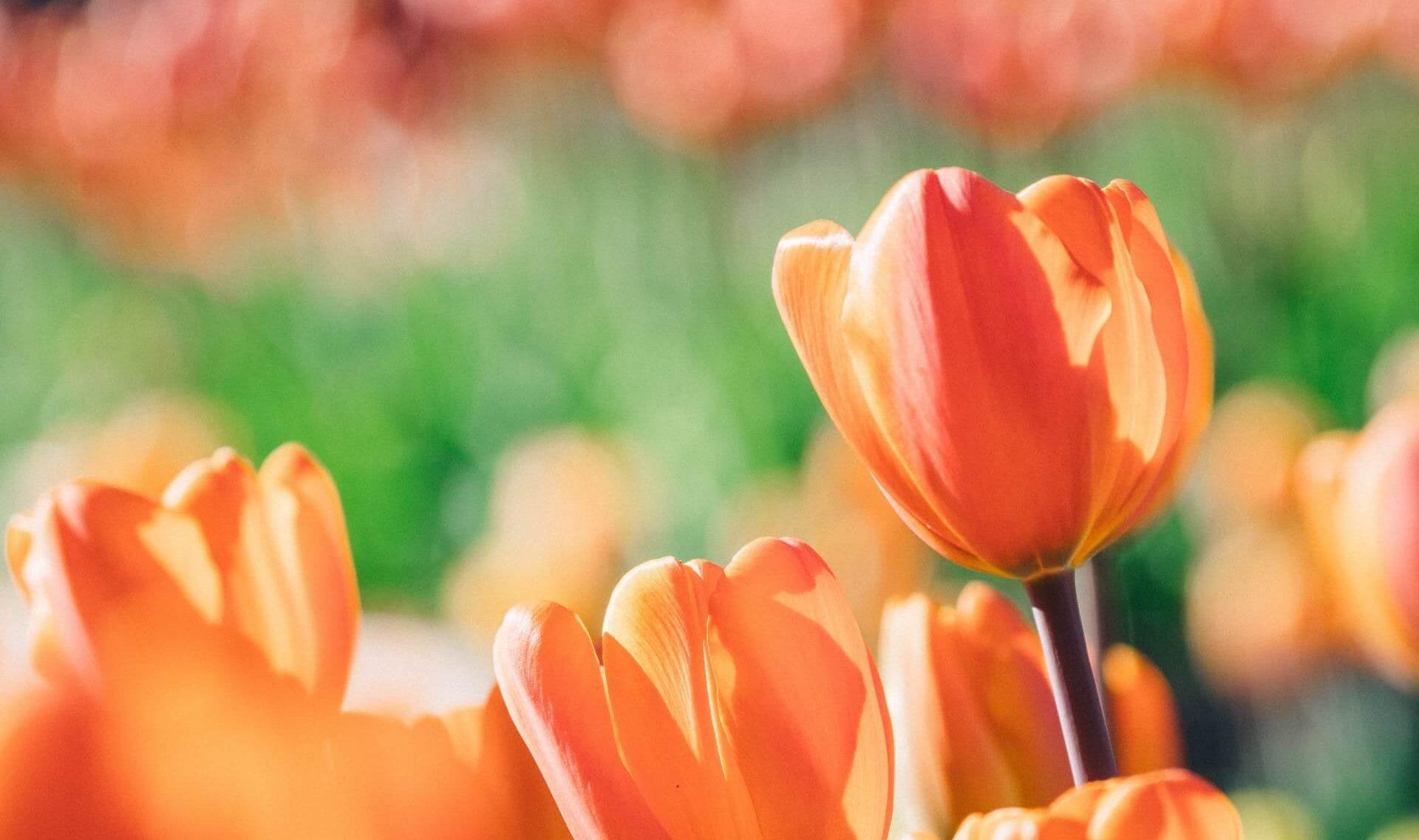 オレンジのチューリップの花の写真